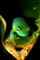 "Reptiles, Amphibians, Beautiful, Colourful, ""Glass Tree Frog"""