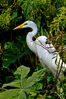 "Florida, Adventure, Wildlife, Wilderness, Exotic, Travel, Tropical, ""Great Egret"""