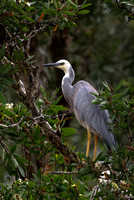 "Australia, Adventure, Wildlife, Wilderness, Exotic, Travel, Tropical, ""East Coast"", Backpacking, ""White Faced Heron"""