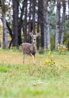 "Ontario, Canada, Wilderness, Adventure, Outdoors, Nature, Deer, ""Whitetailed Deer"", Hunting, Scouting"
