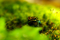 "Reptiles, Amphibians, Beautiful, Colourful, ""Poison Arrow Frog"""