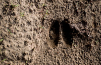 White Tailed Deer Print