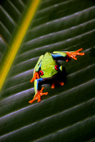"Reptiles, Amphibians, Beautiful, Colourful, ""Red Eye Tree Frog"""