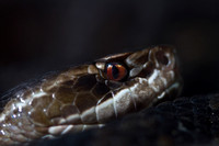 "Reptiles, Amphibians, Beautiful, Colourful, ""Cottonmouth"""