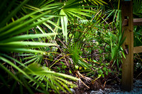 "Florida, Adventure, Wildlife, Wilderness, Exotic, Travel, Tropical, ""Scrub Palms"""