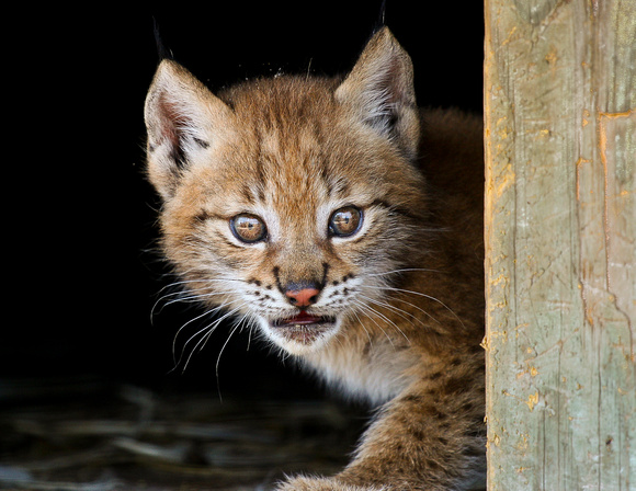 "Big Cats, Feline, Cat, ""Eurasian Lynx"""